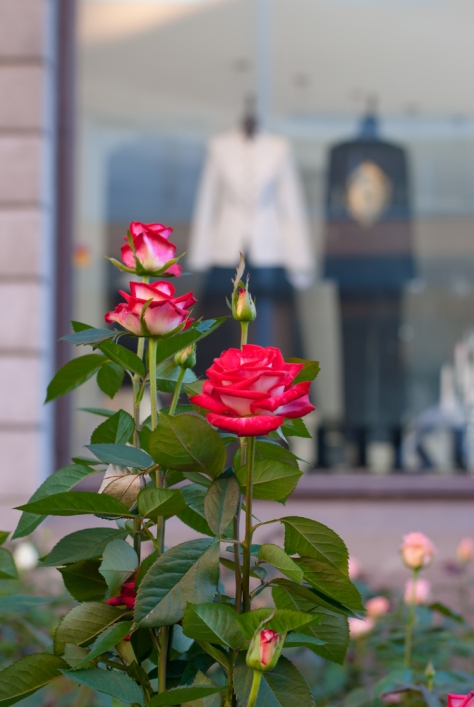 Ruusujen väriloistoa Muotikuun ikkunan edessä.